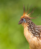 Portrait of the singular Hoatzin. A close-up of this Hoatzin (Opisthocomus hoazin) highlights specially it´s surprising red eyes Royalty Free Stock Photo