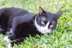 Portrait sinistre rampant de visage de chat noir photos stock