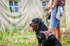 The portrait of sit Rottweiler dog at camp background Royalty Free Stock Images