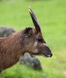 Portrait of Sitatunga antelope Royalty Free Stock Photo