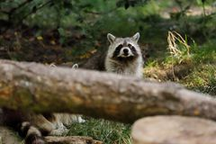 Portrait of sitting adult common raccoon stock image
