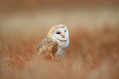 Portrait of Sitting Barn Owl in light grass. Portrait of Sitting Barn Ow, in the grass Royalty Free Stock Photo