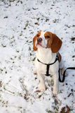 Portrait of sitting beagle puppy on snowy meadow Royalty Free Stock Images