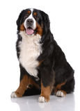 Portrait of sitting Bern Sennenhund Royalty Free Stock Photo