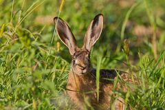 Portrait of a sitting brown hare Royalty Free Stock Images