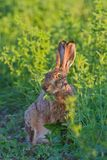 Portrait of a sitting brown hare Royalty Free Stock Photo