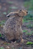 Portrait of a sitting brown hare Stock Photo
