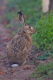 Portrait of a sitting brown hare Royalty Free Stock Photos