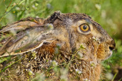 Portrait of a sitting brown hare Stock Photos