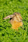 Portrait of a sitting brown hare Stock Images