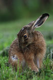 Portrait of a sitting brown hare (lepus europaeus) Stock Images