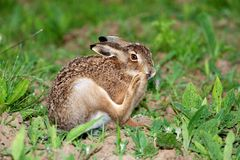 Portrait of a sitting brown hare (lepus europaeus) Stock Photo