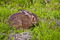 Portrait of a sitting brown hare (lepus europaeus) Stock Image