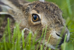 Portrait of a sitting brown hare (lepus europaeus) Royalty Free Stock Images