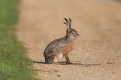 Portrait of sitting brown hare Lepus europaeus. Portrait of sitting natural brown hare Lepus europaeus royalty free stock images