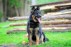 Portrait of a sitting dog. The breed is Bohemian Shepherd. He has an open mouth and a pink tongue stock photography