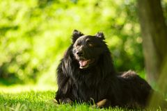 A portrait of a sitting dog during sunset in the grass stock image