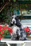 Portrait of sitting english cocker spaniel Royalty Free Stock Image