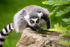 Portrait of sitting frightened lemur kata sitting on rock Royalty Free Stock Image