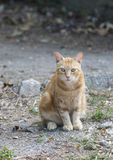 Portrait sitting ginger cat street from Tuscany Royalty Free Stock Image