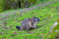 Portrait of sitting groundhog Marmota monax Stock Photography