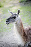 Portrait of sitting llamas - alpaca. Royalty Free Stock Photos