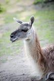 Portrait of sitting llamas - alpaca. Royalty Free Stock Photos