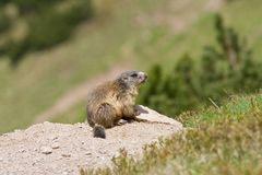 Portrait of sitting and looking marmot Royalty Free Stock Image