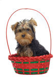 Portrait of sitting puppy in basket Royalty Free Stock Photo