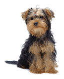 Portrait of sitting puppy of yorkshire terrier Stock Photo
