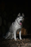 Portrait sitting Siberian Husky Royalty Free Stock Images