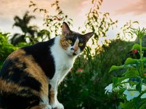 Portrait of a sitting tortoiseshell and white cat. Female tortoiseshell and white cat sitting on the fence with the background of various flowers and plants and stock images