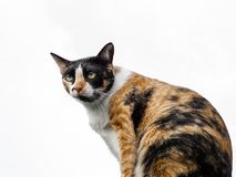 Portrait of a sitting tortoiseshell and white cat. Portrait of a female tortoiseshell and white cat with isolated white ground stock photography