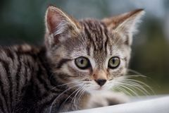 Portrait of Six week Old Tabby Kitten stock photos