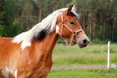 Portrait of skewbald horse in summer Stock Photos
