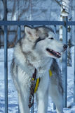 Portrait of sled dog closeup. Portrait of sled dog husky closeup Stock Images