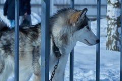 Portrait of sled dog closeup. Portrait of sled dog husky closeup stock photos