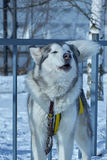 Portrait of sled dog closeup. Portrait of sled dog husky closeup Stock Image