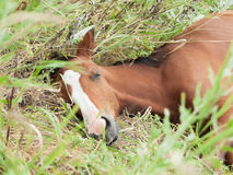 Portrait of sleeping arabian foal  in the meadow Royalty Free Stock Photos