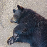 A Portrait of a Sleeping Black Bear Cub Stock Image