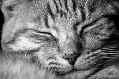 Portrait of sleeping cat Royalty Free Stock Photo