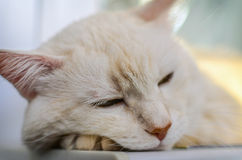 Portrait of sleeping cat's face. Stock Images