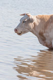 Portrait of a sleeping cow standing in water. Closeup of a light brown cow sleepy standing in water for cooling down Stock Photos