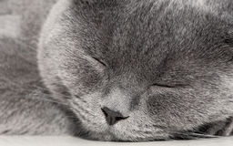 Portrait of a sleeping gray cat close up. Royalty Free Stock Photography