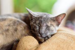 Sleeping cat, animal and pet. Portrait of sleeping gray cat, cute animal and pet Stock Images