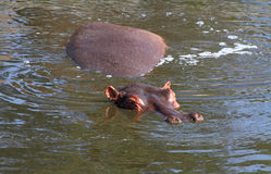 Portrait of a Sleeping Hippopotamus. A portrait of a sleeping hippopotamus in the water stock photography