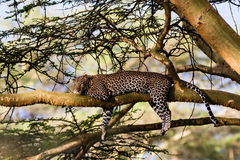 Portrait of a sleeping leopard. Nakuru, Kenya Stock Images