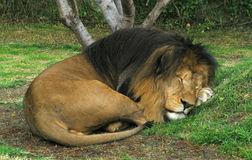 Portrait of a sleeping lion Stock Photo