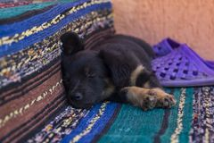 Little black puppy sleeping royalty free stock images
