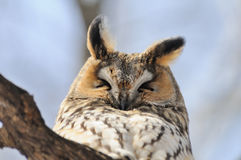 Portrait of sleeping Long-eared Owl Royalty Free Stock Photography